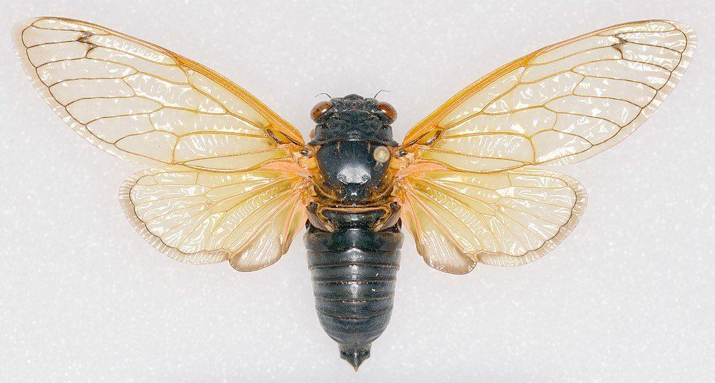 Magicicada tredecassini cicada