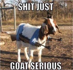 A picture of a goat with two rifles in a harness slung over its back making it look like an odd kind of double-barreled goat machine gun. The caption reads just just goat serious.