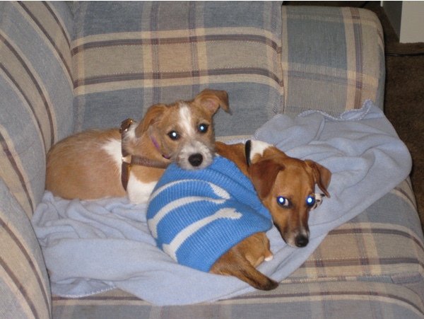 Kaylee, tan and white, laying with her head on Chance, brown and white, who is wearing a blue sweater with white bones on it. They look suitably adorable.